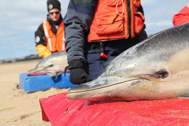 The MMRR team successfully released four common dolphins off the coast of Cape Cod. c. IFAW