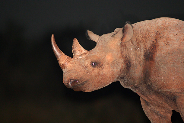 A black rhino at night in the Ngulia Rhino Sanctuary.
