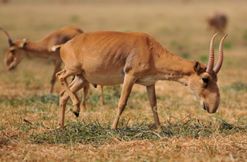 Saiga antelopes grazing.