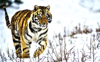 As a result of IFAW's lobbying, the fine for killing an Amur tiger in Russia was raised from 2,000 roubles (US$50) to 575,000 roubles ($20,000).