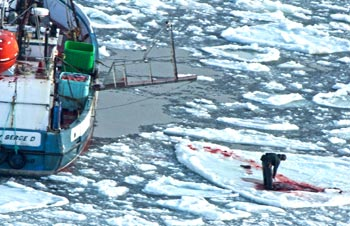 A commercial sealer on the ice in Canada skinning a recently killed harp seal pup.