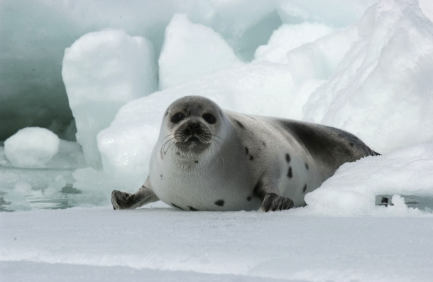 A Canadian harp seal pup on the ice in the Gulf of St. Lawrence. c. IFAW