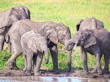 Elephants drinking in Serengeti Park, Tanzania. c. IFAW/E. Wamba