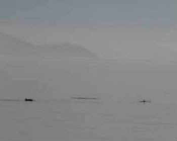 Distant, but definitely harbour porpoises.