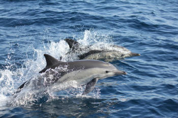 Moreover, we've had almost daily encounters with bottlenose dolphins, seen feeding aggregations of common dolphins and bluefin tuna, saw a jumping swordfish and a loggerhead turtle and have enjoyed beautiful sunsets.