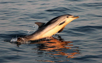 Striped dolphin breaching at sunset.