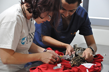 IFAW's DVM Erika Flores providing emergency assistance to the margay.