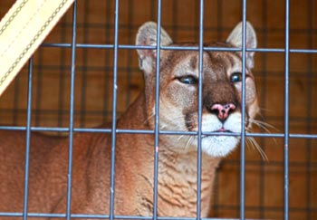 Tasha, the cougar, is loaded on to a transport trailer before her road trip from Ohio to Minnesota. The International Fund for Animal Welfare (IFAW) helped cover the cost of the move and new enclosure for Nikita, a white tigress. The two big cats made the journey to their new home at The Wildcat Sanctuary.  c. IFAW/M. Booth