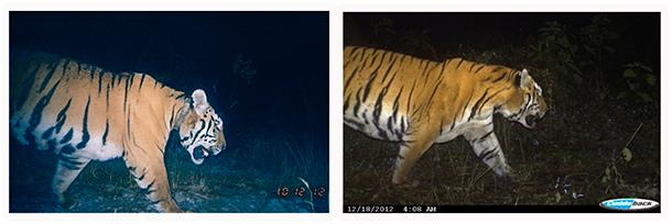 Zwei Fotos, ein Tiger. Aufnahme links vom 11. Februar 2011, Aufnahme rechts - ohne Halsband - vom Dezember 2012 © Manas TR