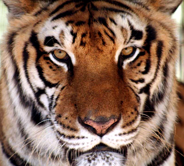College students voice their support during National Tiger Awareness Week.