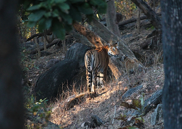 """The Baghinnalla tigress walks down into the nallah, her stripes playing hide and seek with the sun filtering through the trees."" PHOTO: c. IFAW/WTI - Dr. Rahul Kaul"