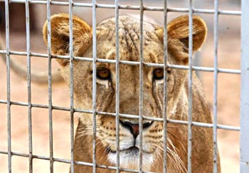 A lioness waiting for meal time at the Tripoli Zoo.