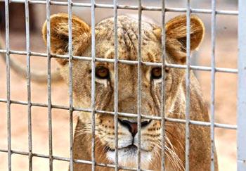 Een leeuwin in afwachting van de voedertijd in de dierentuin van Tripoli.