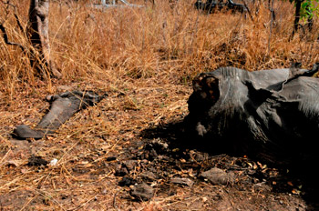 An elephant slaughtered in Cameroon whose trunk and tusks have been cut off.