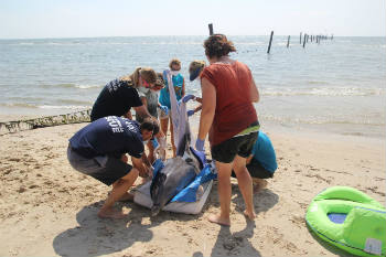 A team of IFAW MMRR and VAQS members rush to the aid of the live stranded bottlenose dolphin.