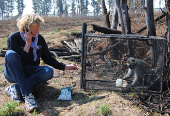 CLAW Director Cora Bailey responded to a call about a male vervet monkey that was threatening children in a local village. She calmed him after he was captured by feeding him dried fruit. He was transported to a safe haven for rehabilitation before being released back into the wild.