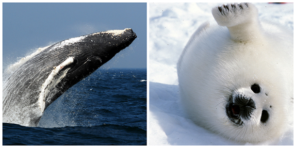 After decades of campaigning, we at the International Fund for Animal Welfare have celebrated concurrent major victories regarding whales and seals at the International Court of Justice and World Trade Organization, respectively.