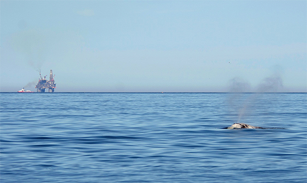 A North Atlantic right whale with an oil platform in the distance.