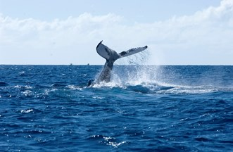 The fluke of one of our humpback whale friends. This photo was taken in Silver Bank in the Dominican Republic.