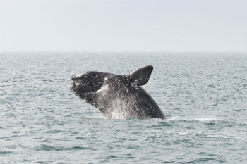 NMFS will report back in the coming months on their final decision, so stay tuned to see the outcome of your efforts. Until then, thank you from all of us here at IFAW for your tremendous effort on behalf of the North Atlantic right whales. Photo Credit: NOAA