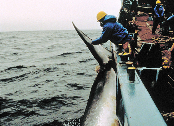 Despite initially committing to respect the World Court's judgment the Government of Japan and Prime Minister Shinzo Abe announced that Japan would return to whale killing around Antarctica.