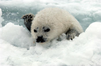 Young harp seals off the eastern coast of Canada are at much higher risk than adult seals of stranding as the result of shrinking sea ice cover caused by recent warming in the North Atlantic.