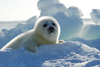A whitecoat pup.