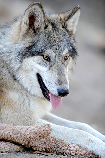 The two groups filing the lawsuit have worked to reintroduce Mexican gray wolves to their native habitat in the Southwestern U.S.