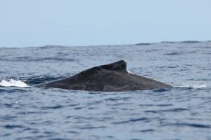 Baleine qui montre des marques de filets révélatrice d'enchevêtrements antérieurs.