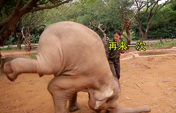 Een realityshow op de Chinese televisie getiteld 'Bijzondere Dierenvrienden' toonde recent de acrobatische toeren van een olifant in het Chimelong Safari Park in het zuiden van China. Het arme dier moest steeds opnieuw zijn kunsten vertonen voor het publiek.