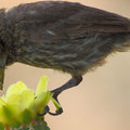 Birds_pollinating_in_gps