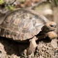 Galapagos-giant-tortoise-baby-013002