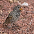Large-ground-finch_lip-kee_flickr_web