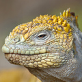 Land-iguana-face_oliver_web