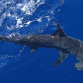 Scalloped-hammerhead_noaa-nmfs_web