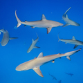 School_of_sharks_andrew_gray_flickr_web