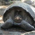 Fernandina_giant_tortoise