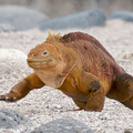 North_seymour_iguana_a.daveycrop_flickr_web