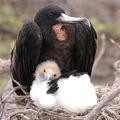 Frigate_baby_bird_web