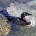 Galcormorant_swimming_putneymark_wikicommons_web