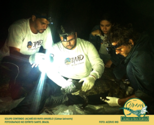 Equipe contendo jacaré-do-papo-amarelo (Caiman latirostris) Fotografando no Espírito Santo, Brasil