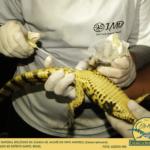 Coleta de material biológico da cloaca de jacaré-de-papo-amarelo (Caiman latirostris) fotografado no Espírito Santo, Brasil