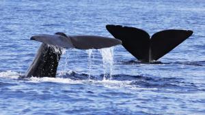 Nadadeiras-caudais(Credit Shane GeroDominica Sperm Whale Project)