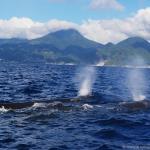Os cachalotes vivem em unidades familiares próximos(Credit Marina MilliganDominica Sperm Whale Project)