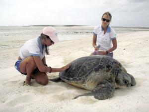 Exame em tartaruga marinha