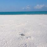 Filhote tartaruga-verde indo para o mar