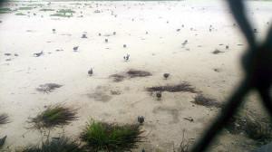 Infelizmente as aves filhotes não possuem as pernas impermeabilizadas e muitos morreram nestes dias de chuva