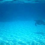 Tartaruga marinha na piscina natural