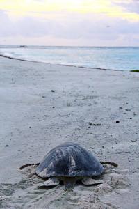 Tartaruga voltando ao mar depois da desova