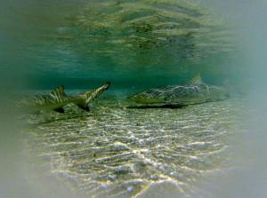 Tubarão Limão